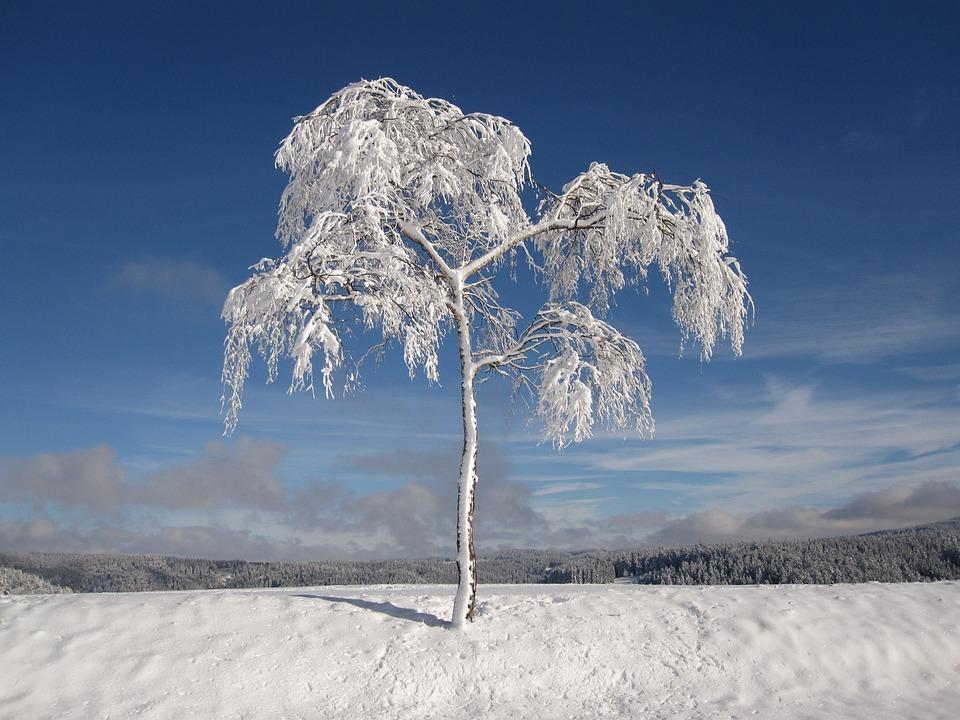 Invierno, Cubierto De Nieve, Abetos, Navidad, Frío