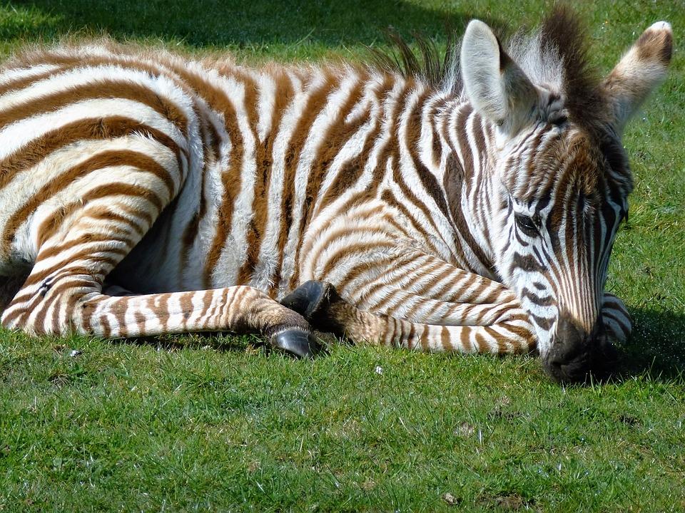 Free photo: Zebra, Baby Zebra, Striped - Free Image on ...