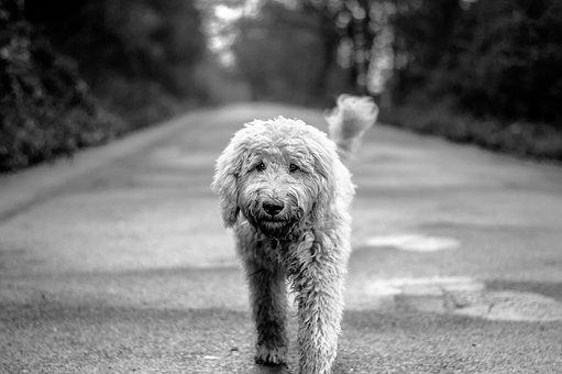 Dog, Goldendoodle, Road, Hybrid