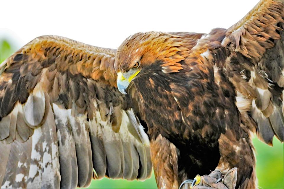 Aquila D'Oro, Eagle, D'Oro, Natura, Uccello, Selvatici