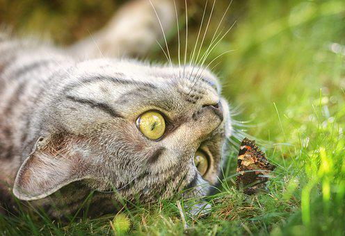 Cat, Butterfly, Domestic Cat, Young Cat