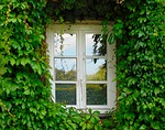 window, ivy, climber