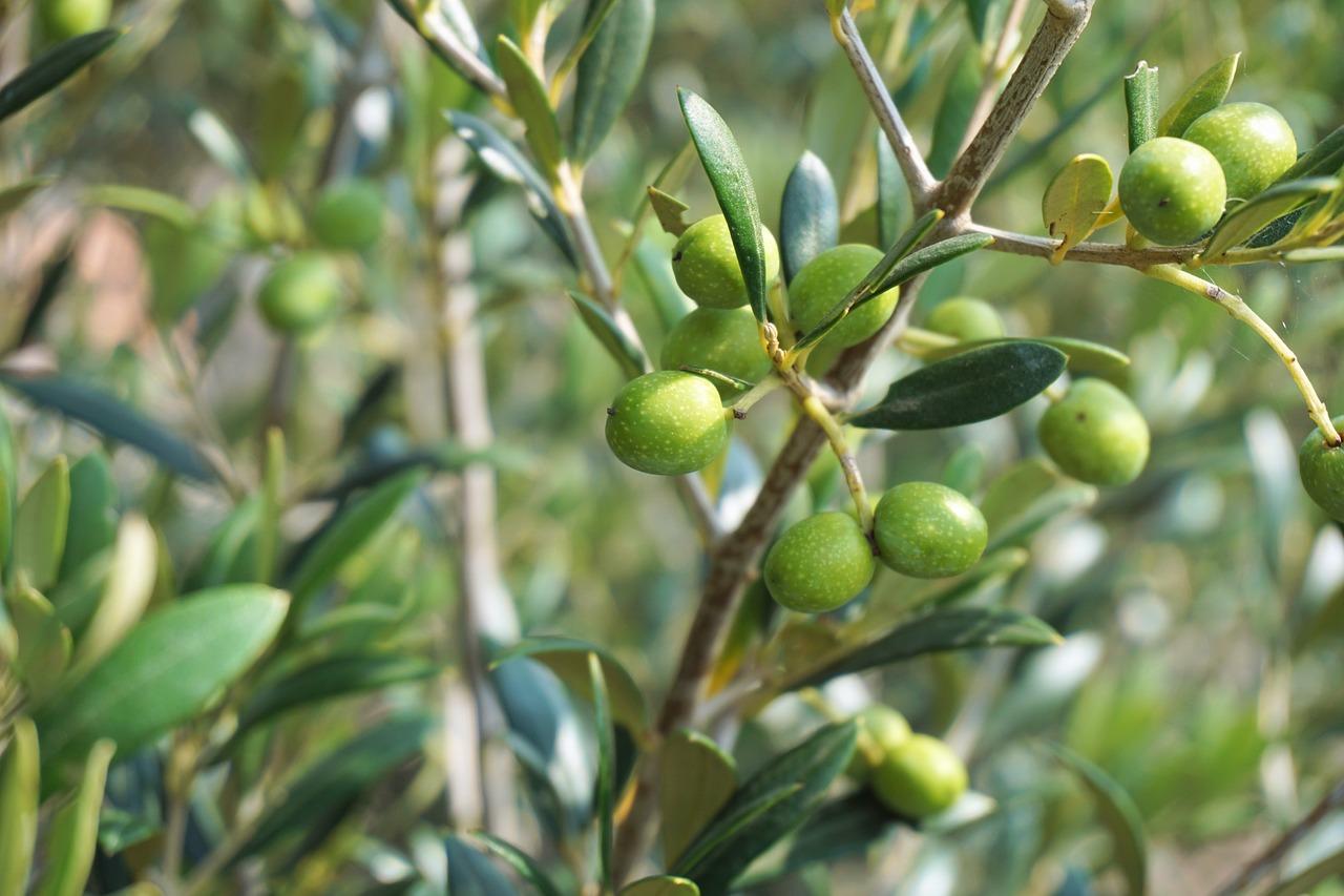 Картинка дерево маслина