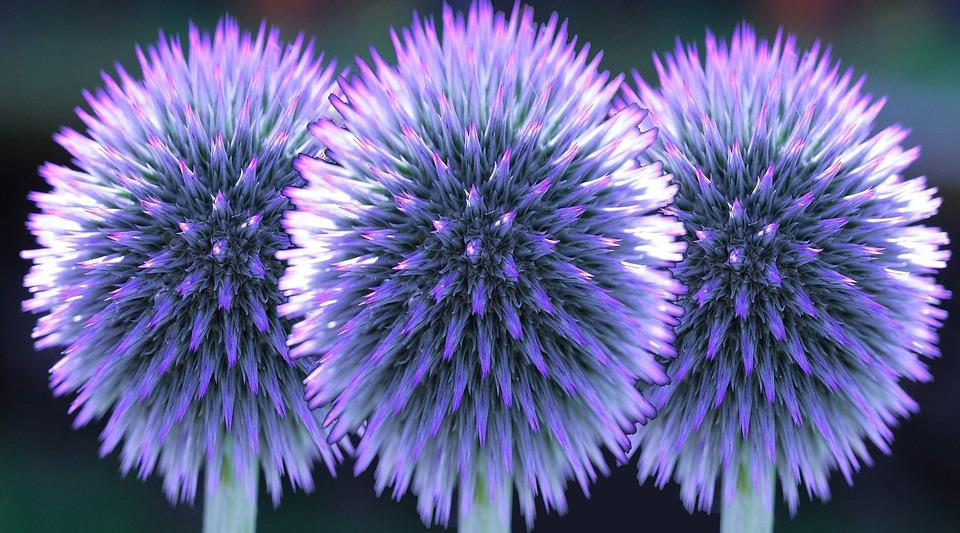 Globe Thistle Flowers Free Image On Pixabay