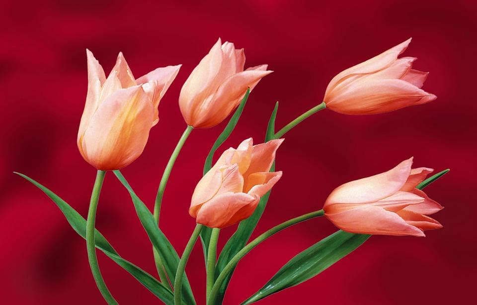 Kostenlose Illustration: Tulpen, Garten, Pflanzen, Vase ... Tulpen Im Garten Pflanzen
