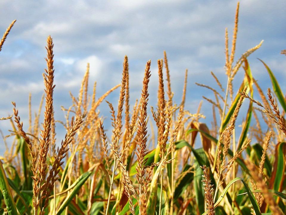 Corn, Mais Imitate, Ear, Food, Cereals, Agriculture