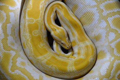 Snake Yellow Reptile Non Toxic Boa Constri