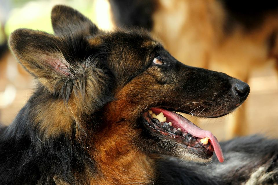 German Shepherd Rescue Texas: A Guide To Finding Your Next Puppy