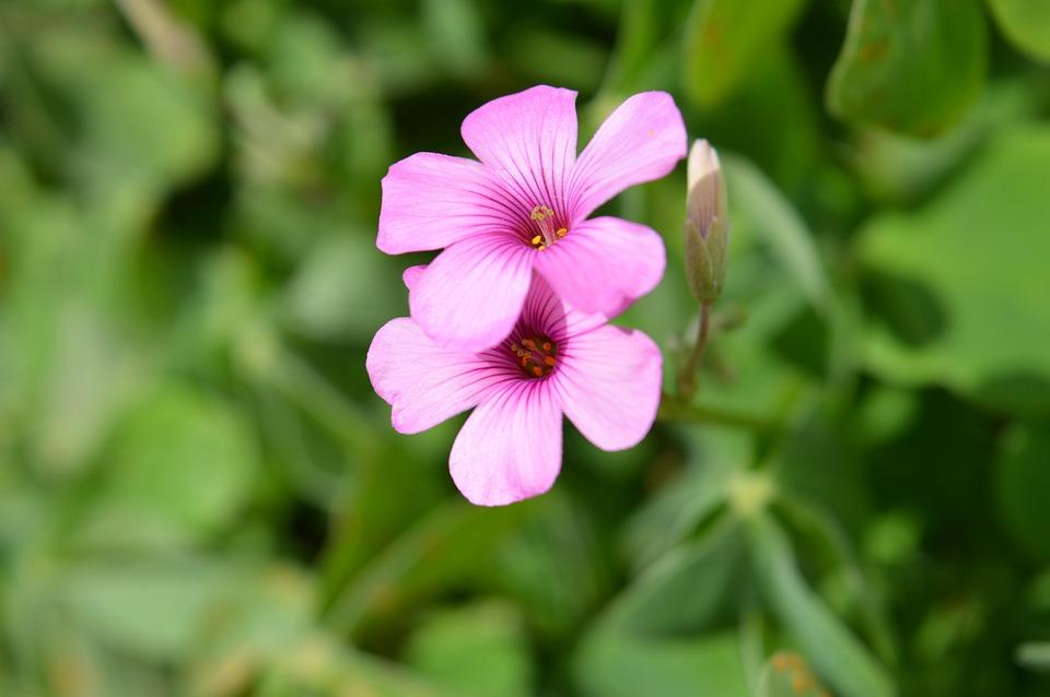 Fiori 5 Petali Rosa.Rosa Fiore Piccolo 5 Foto Gratis Su Pixabay