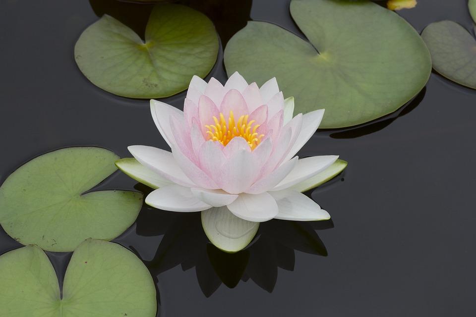 pond, flower  free images on pixabay, Beautiful flower