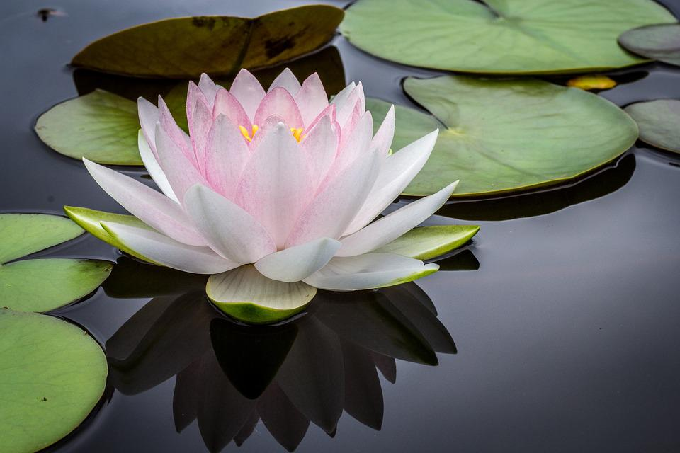 free photo flower, lily, pond, water plant  free image on, Beautiful flower