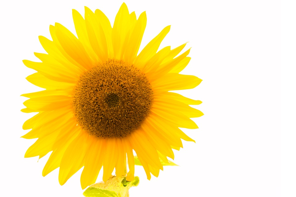 Sunflower yellow flower free photo on pixabay sunflower yellow flower yellow flower blossom mightylinksfo