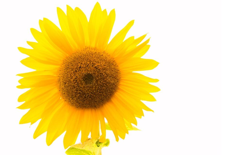 Sun flower yellow free photo on pixabay sun flower yellow flower yellow flower blossom mightylinksfo