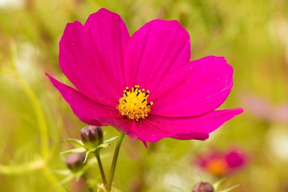 pink flower cosmos kosmee leaflet  u00b7 free photo on pixabay