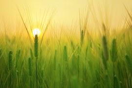 Barley Field, Wheat, Harvest