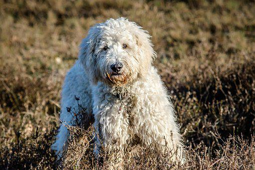 Dog, Goldendoodle, Hybrid, Nature, Pet