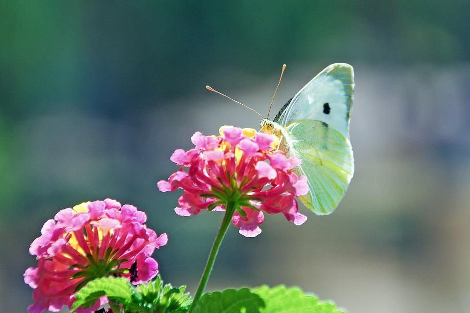 Blumen Schmetterling Lantana Kostenloses Foto Auf Pixabay