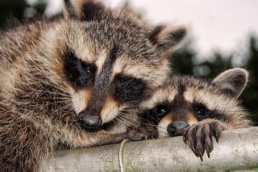 Raccoons, Cute, Curious, Cheeky, Animals