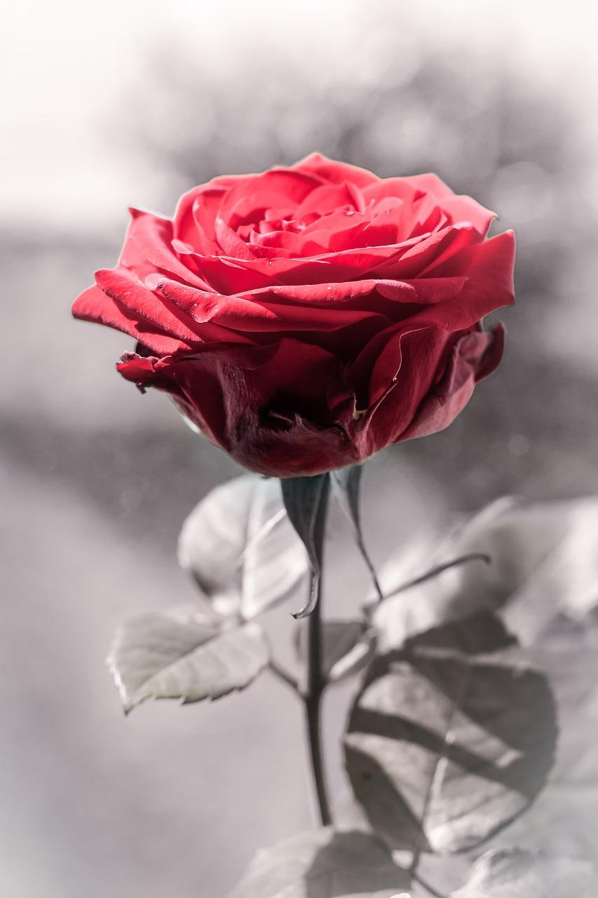 Днем рождения, одинокая роза картинки