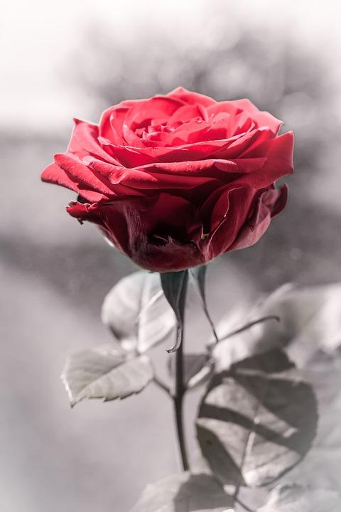 Rosa Rojo Blanco Y Negro Foto Gratis En Pixabay