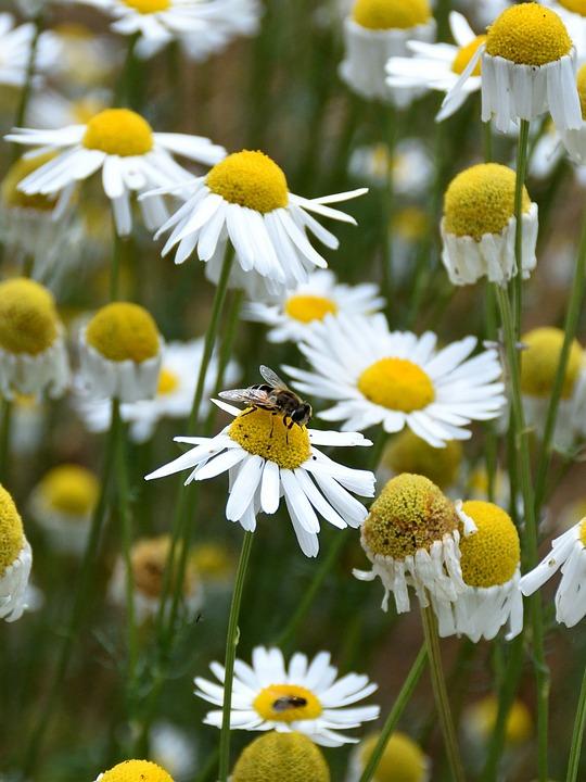 玛格丽特,蜜蜂,关闭,动物,性质,恐龙,黄色,鲜花,白叠纸植物图片