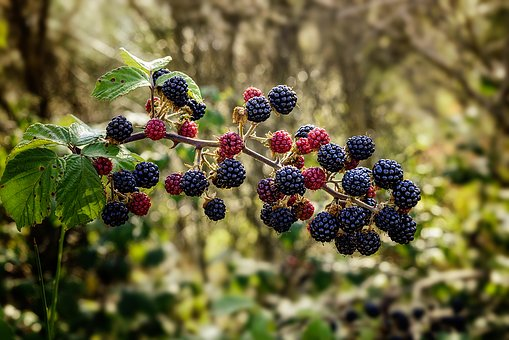 Bramble Blackberry Shrub Thorny Muron Frui