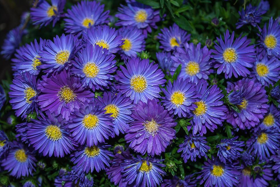 aster  free images on pixabay, Beautiful flower