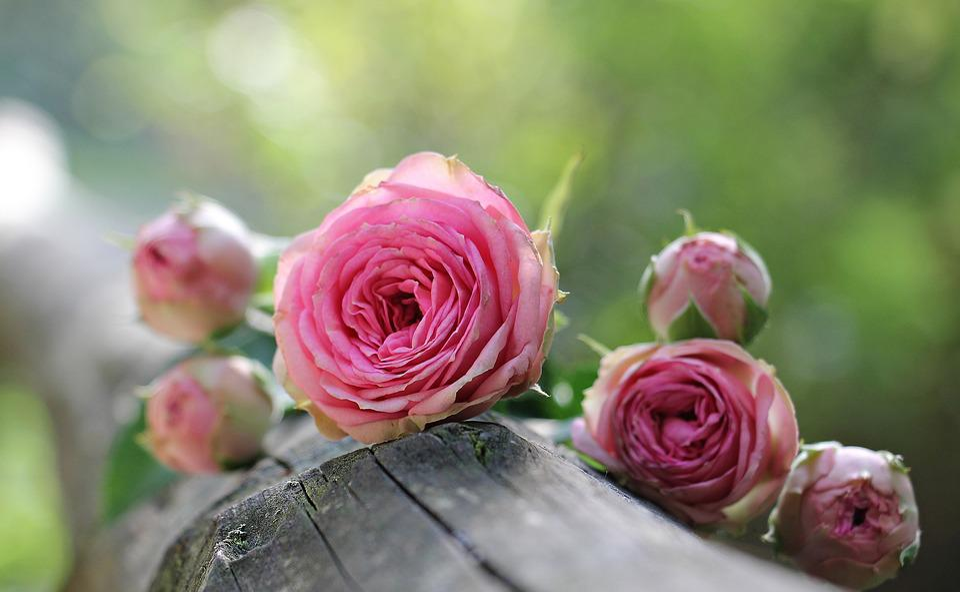 Rose, Bush Röschen, Rose Rosa, Bush Cimette Di Rosa