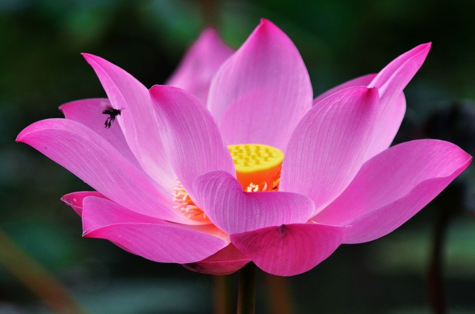 free photo lotus, flower, macro, lotus flower  free image on, Natural flower