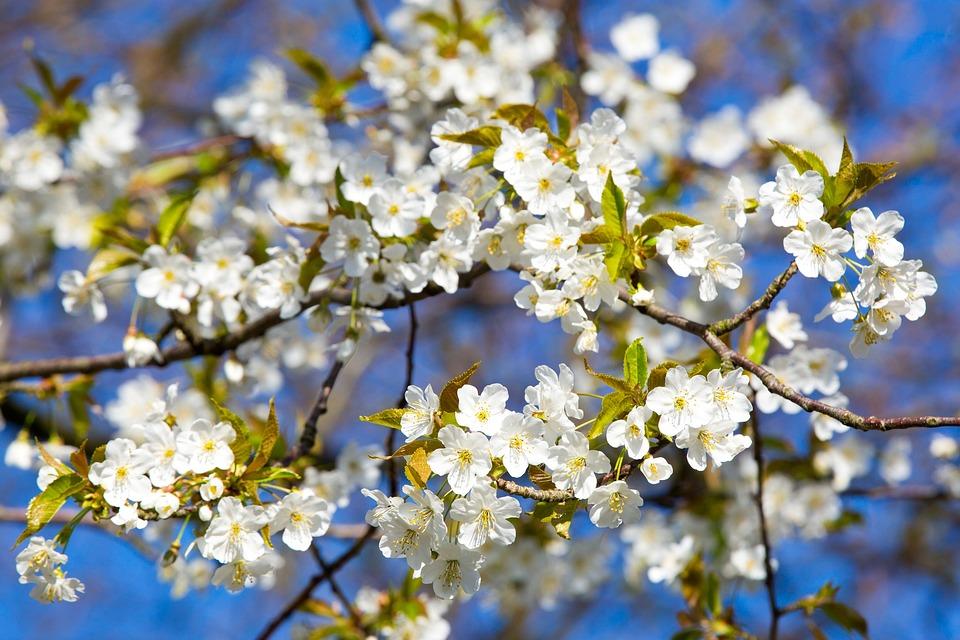 Kirschblüte Frühling Blüte · Kostenloses Foto auf Pixabay