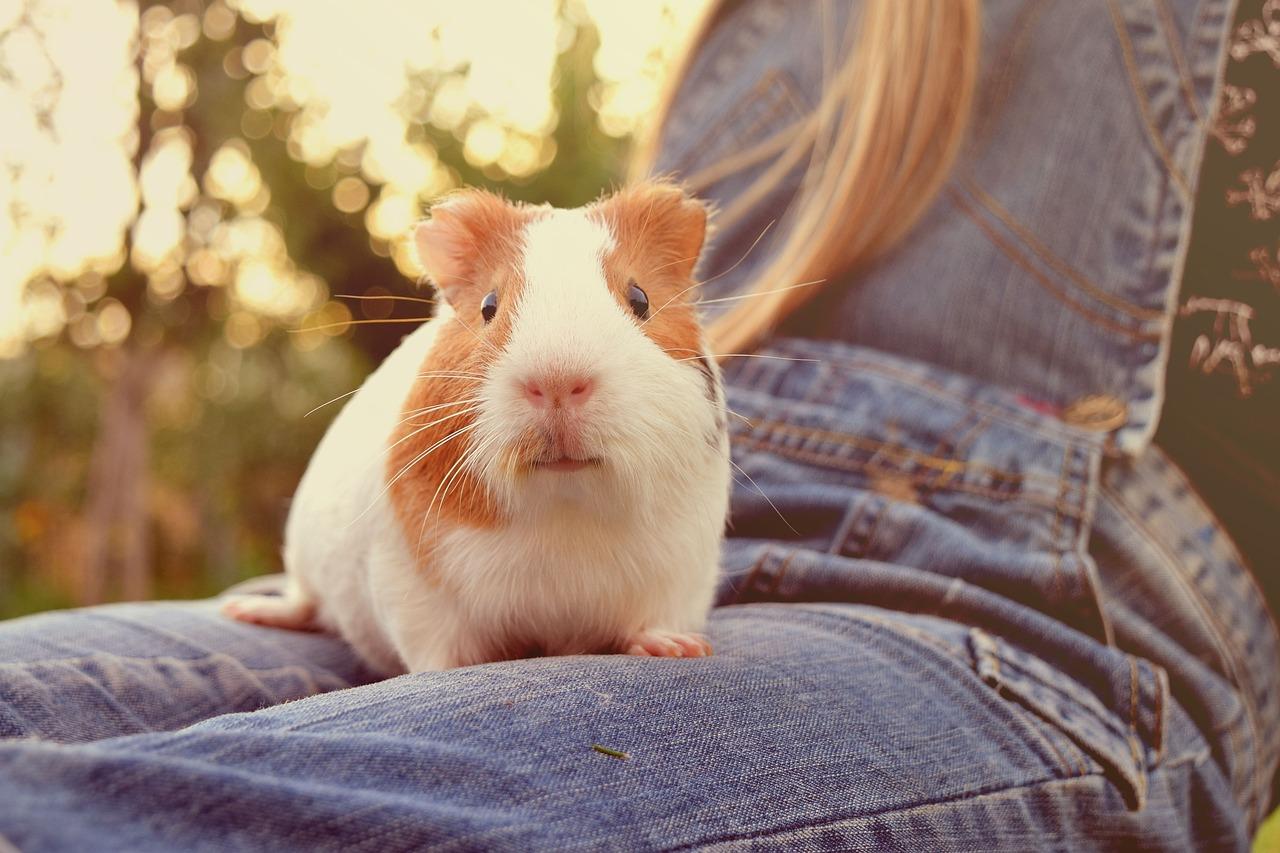 Почему морская свинка прыгает и дёргается