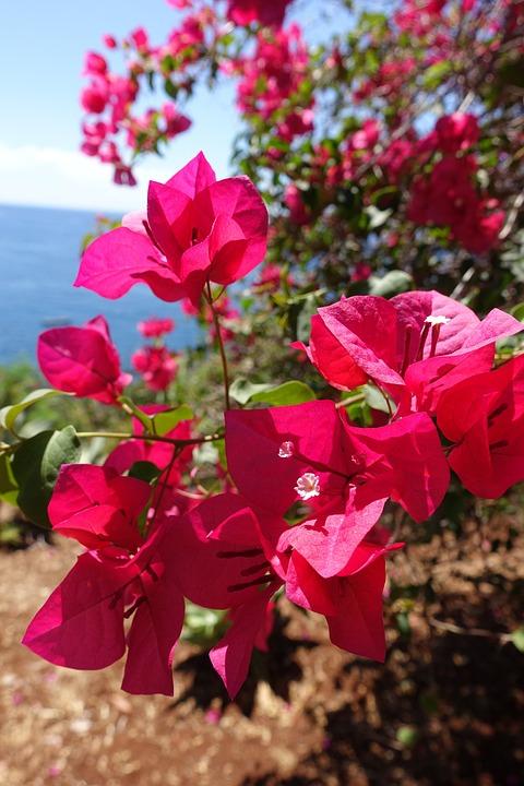 Fleur, Madère, Portugal, Nature, Printemps, Fleur Rose