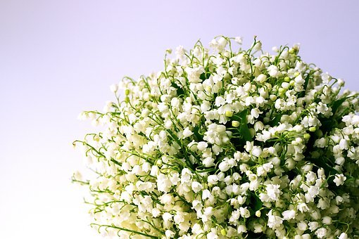 Lily Of The Valley Images Pixabay Download Free Pictures