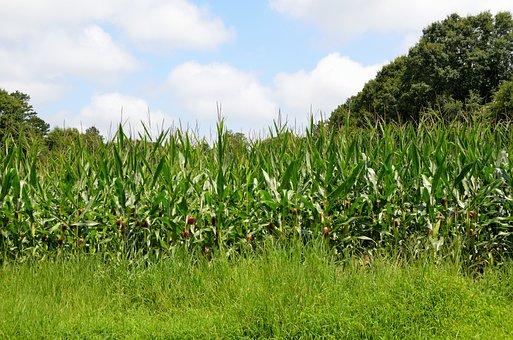 Corn Fields, Corn, Agriculture, Farmland