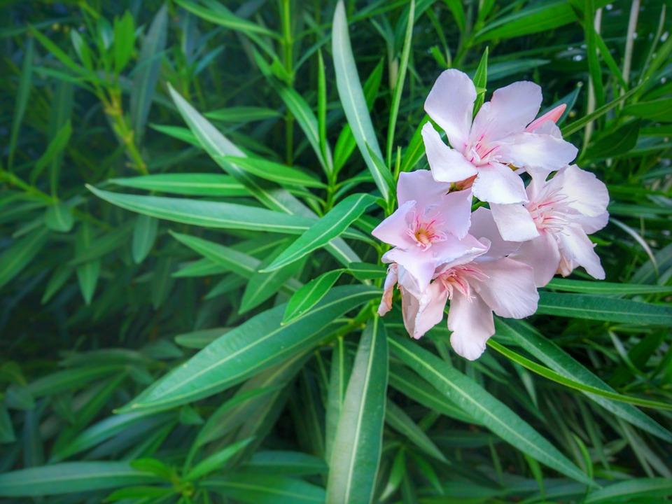 Oleander flower green free photo on pixabay oleander flower green pink leaf leaves blossom mightylinksfo