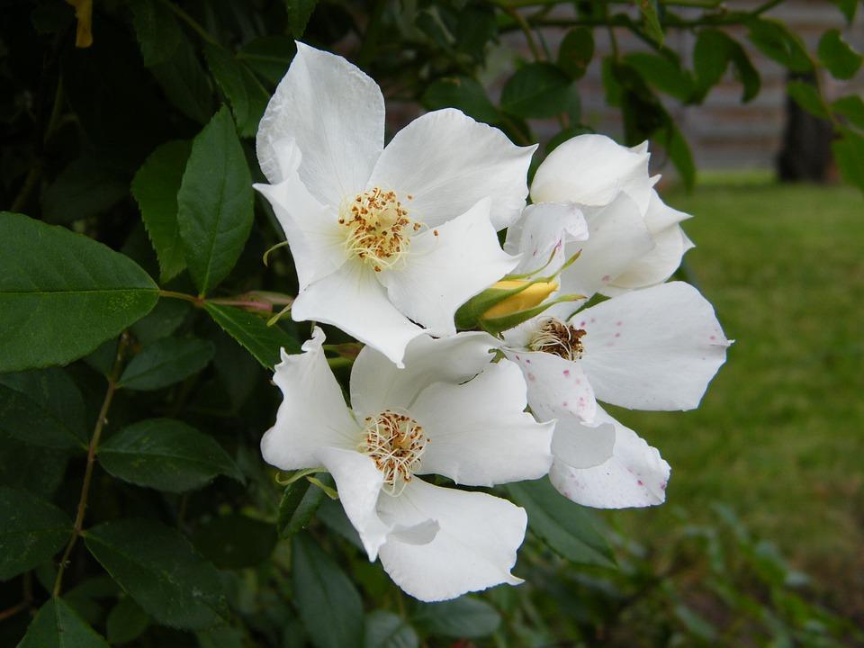 Garten Weiße Blumen Baum · Kostenloses Foto auf Pixabay
