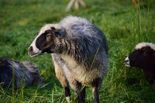 Moutons images gratuites sur pixabay 5 - Photos de moutons gratuites ...