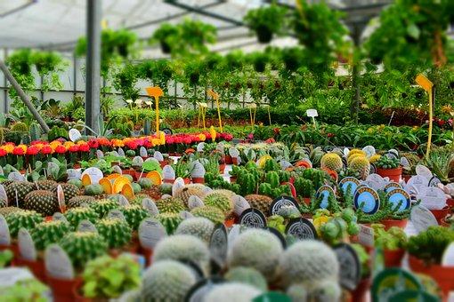Cactus, Aloe Vera, Nursery