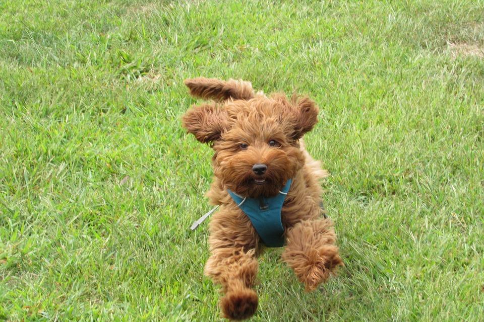 labradoodle doodle hond - gratis foto op pixabay