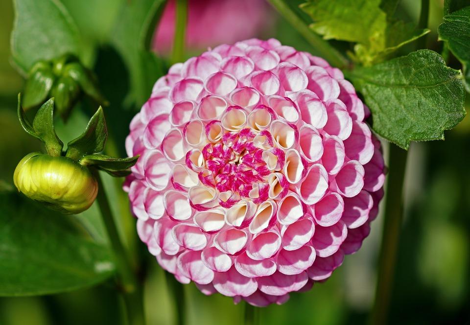 Dahlia Rose Fleur Photo Gratuite Sur Pixabay