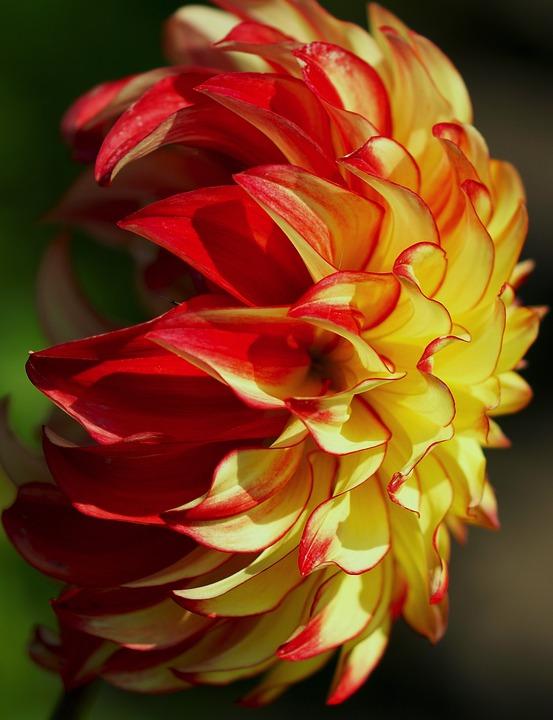 photo gratuite: dahlia, rouge, jaune, fleur, jardin - image