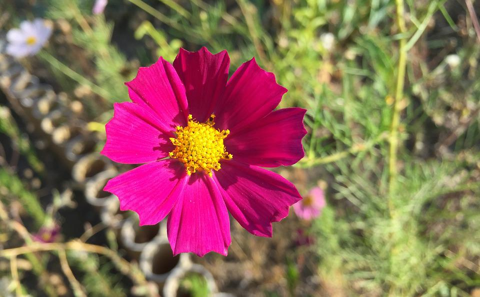 Kosmos Garten Schöne Blume · Kostenloses Foto auf Pixabay