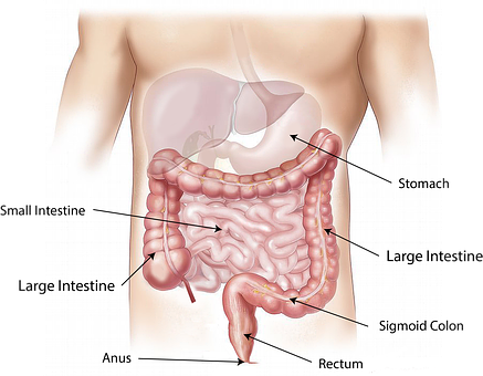 Abdomen, Intestine, Large, Small