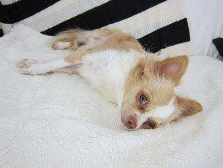 Chihuahua, Dog, Pet, Animal, Cute, Puppy