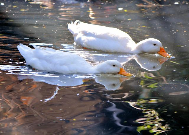 Photo gratuite canards blancs natation tang image for Architecture canard