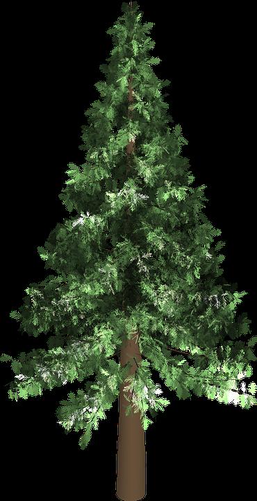 Free illustration: Tree, Evergreen, Isolated, Pine - Free ...
