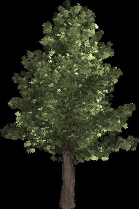 Tree Evergreen Isolated · Free image on Pixabay