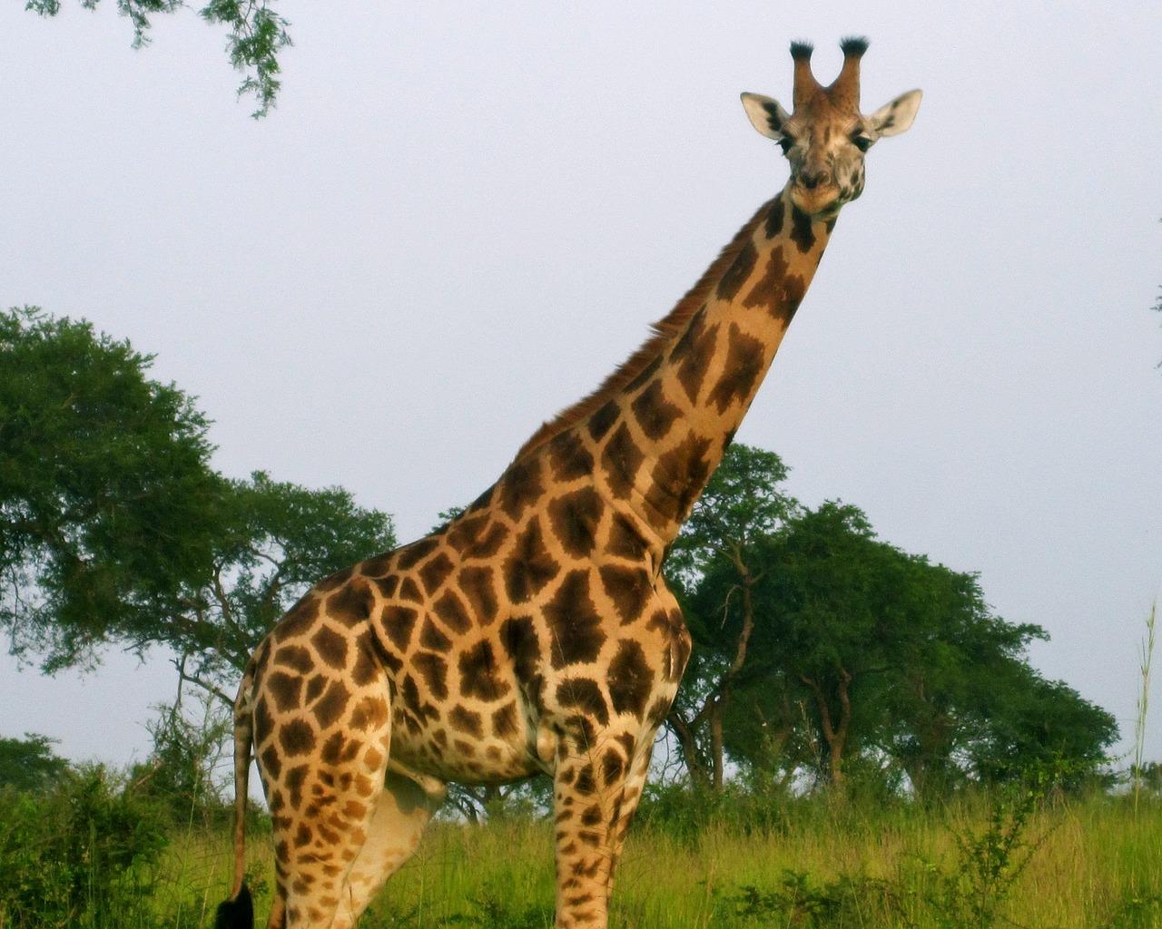 фото жирафа в природе что убранство дворцов