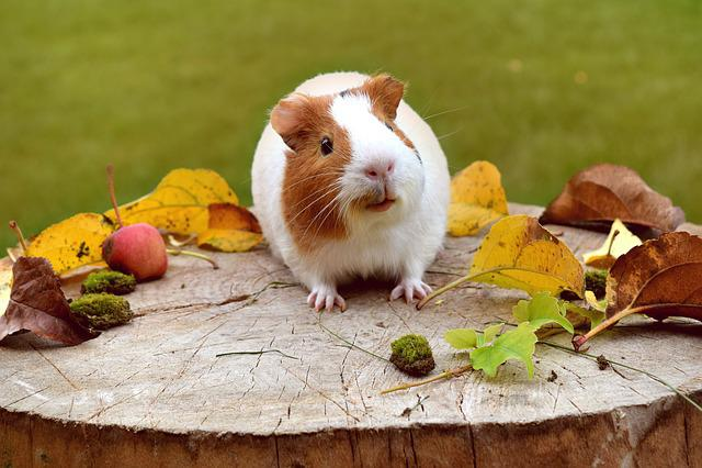 Cochon d 39 inde mignon funny photo gratuite sur pixabay - Image de cochon mignon ...