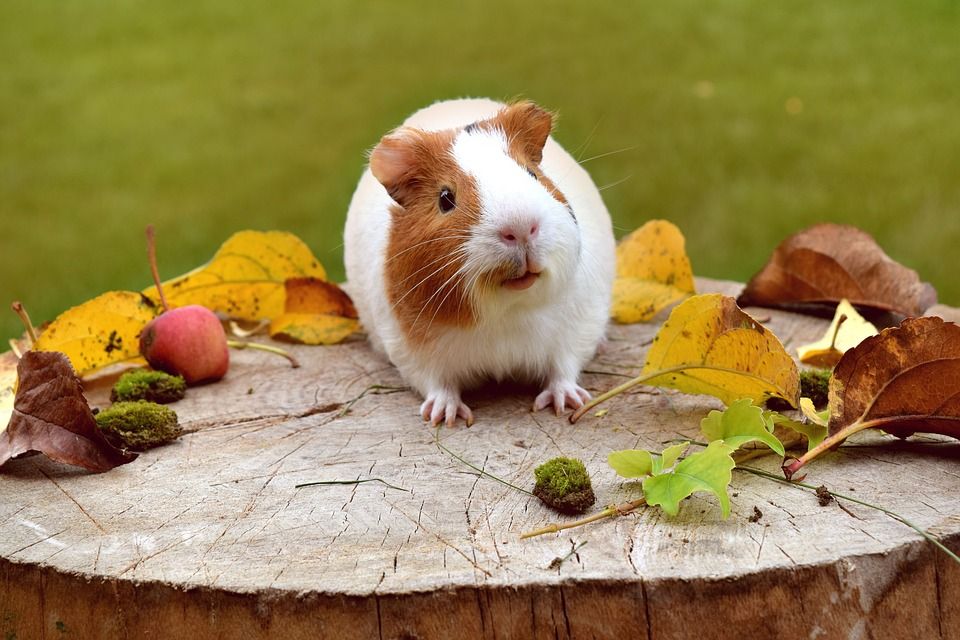 A Beginner S Guide To Caring For Guinea Pigs Coops And